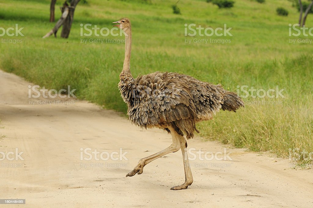 Wildlife in Africa royalty-free stock photo