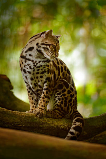wildlife in costa rica. nice cat margay sitting on the branch in the costarican tropical forest. detail portrait of ocelot, nice cat margay in tropical forest. animal in the nature habitat. - ocelot foto e immagini stock