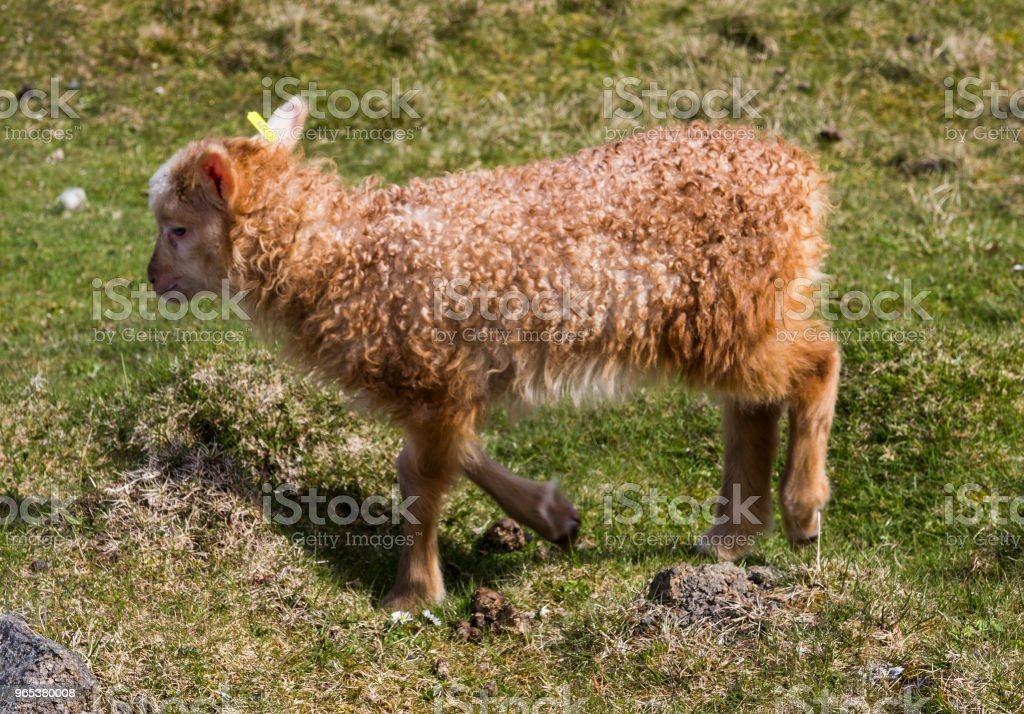 Wildlife in the Faroe Islands zbiór zdjęć royalty-free