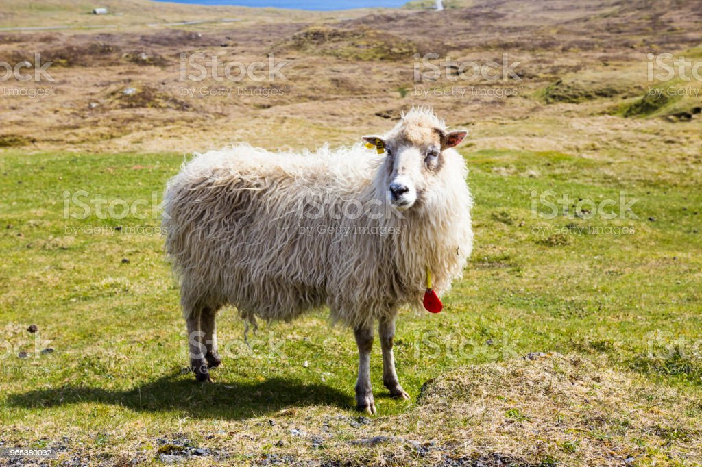 Wildlife in the Faroe Islands royalty-free stock photo