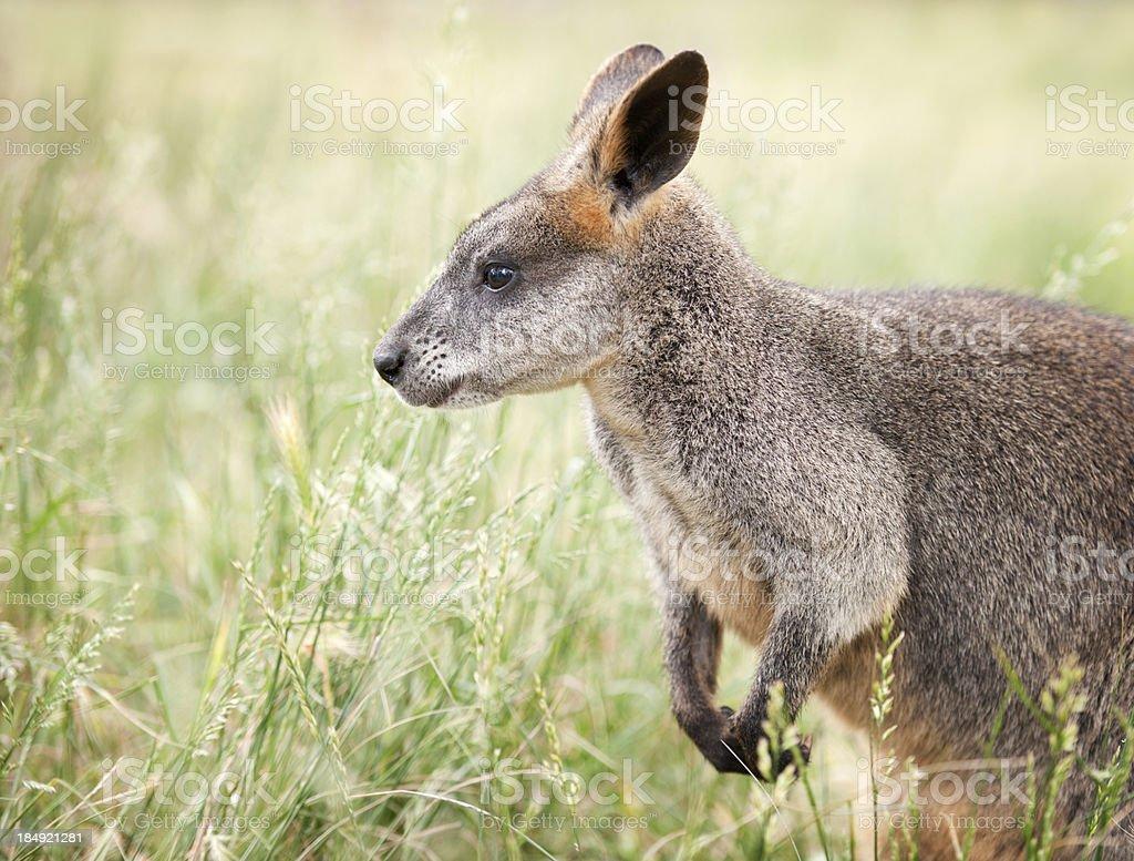 Wildlife Kangaroo Wallaby Portrait (XXXL) stock photo