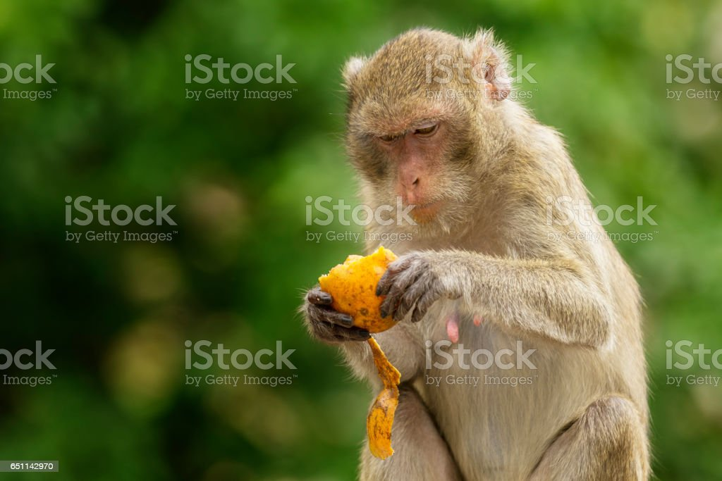 Wildlife long tailed macaque stock photo
