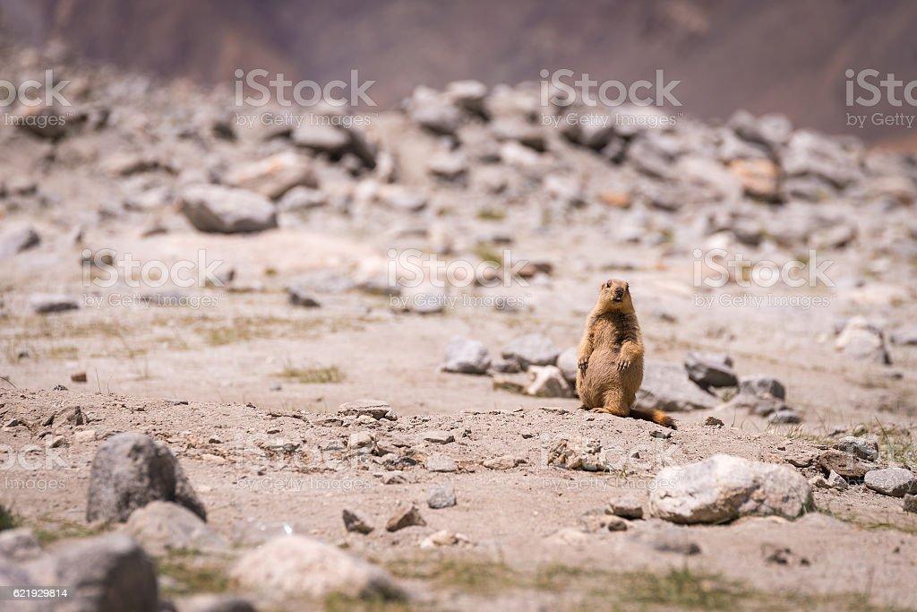 Wildlife Marmot stock photo