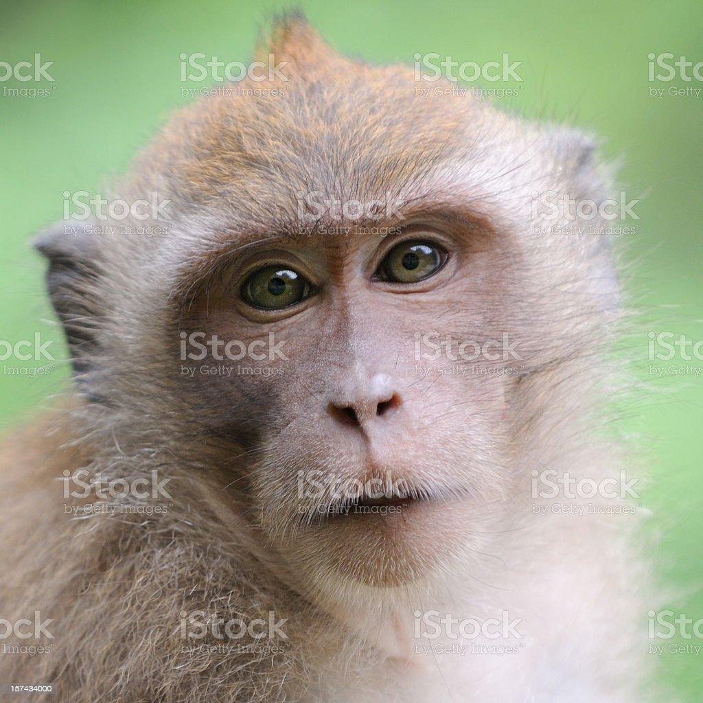 Wildlife Monkey Portrait - Khao Sak National Park royalty-free stock photo