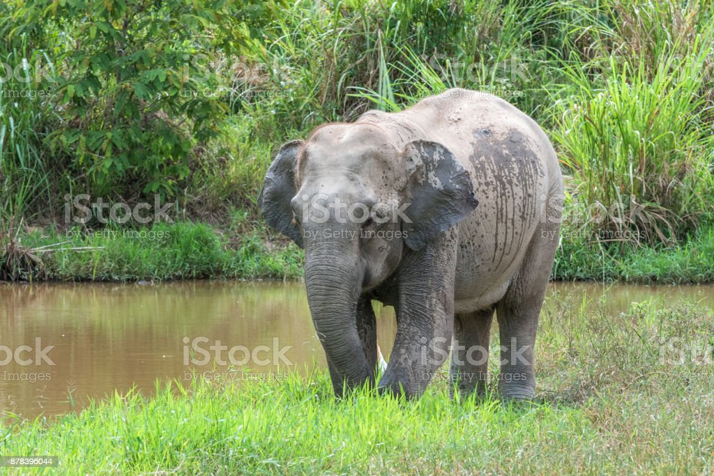 Wildlife of Asian Elephant in forest. Kui Buri National Park. Thailand. stock photo