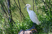 A Snowy Egret Rests on a Rock in the Shade Next to a Pond.
