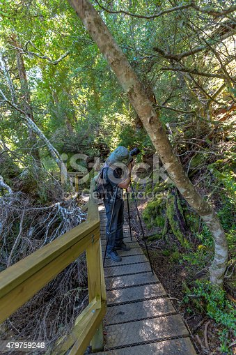 Nature photographer taking pictures with his tripod and wide angle camera in the rainforest. Ballroom Forest in Lake Dove Circuit, Cradle Mountain National Park, Tasmania, Australia.
