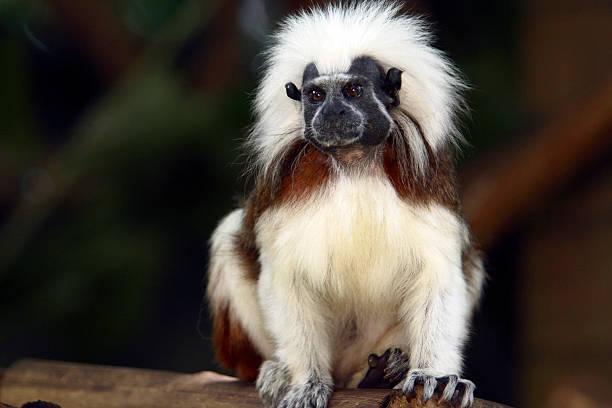 la vie sauvage - tamarin photos et images de collection