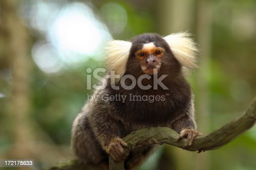 Cute cotton eared marmoset sitting on a branch