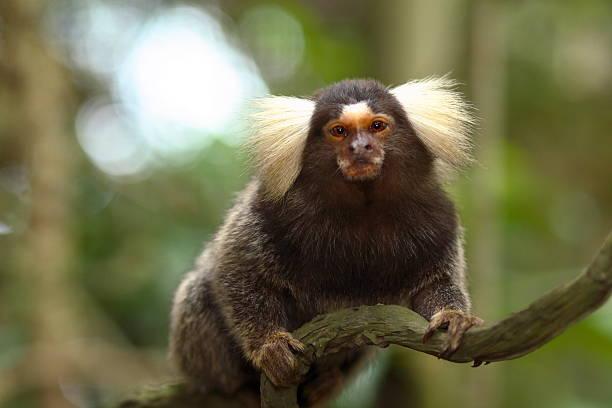 wildlife Cute cotton eared marmoset sitting on a branch marmoset stock pictures, royalty-free photos & images
