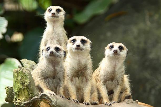 wildlife - meerkat stock photos and pictures