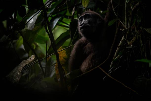 Wildlife portrait of a Western Lowland Gorilla in Congo stock photo