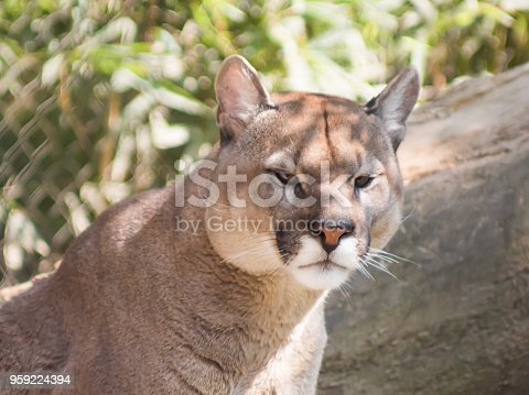Wildlife scene of Danger Cougar, puma, panther sitting in the zoo park, Big wild cat in nature habitat, Puma concolor, known as mountain lion, Mexico.