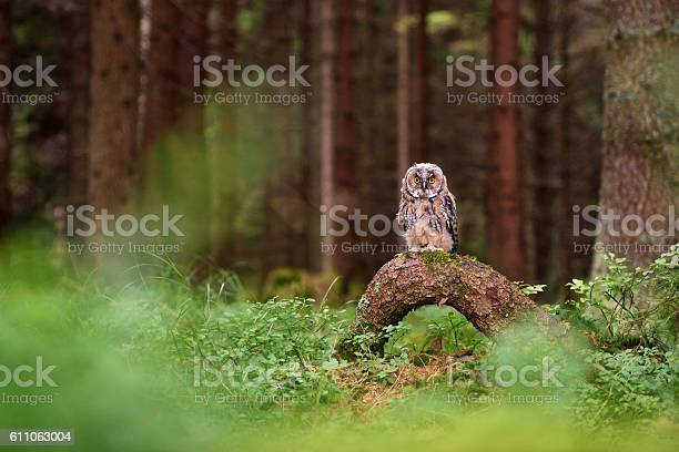 Wildlife scene with eurasian eagleowl in czech forest picture id611063004?b=1&k=6&m=611063004&s=612x612&h=nfbigpavph5f0p2tr6hzyzmgzrozg2fvpqmewg na1a=