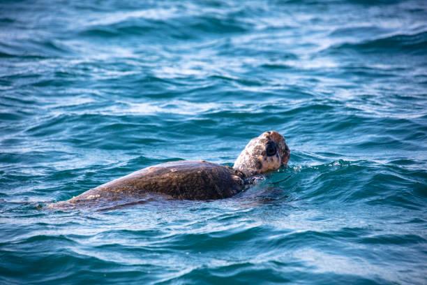 野生動物のウミガメ - 海亀 ストックフォトと画像