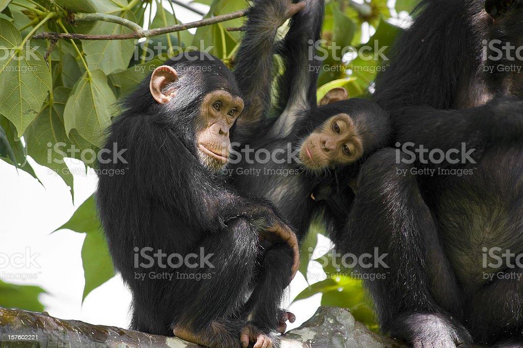 Schimpansen-Gattung Familie sitzt auf einem Baum-Aufnahme, Gombe/Tansania – Foto