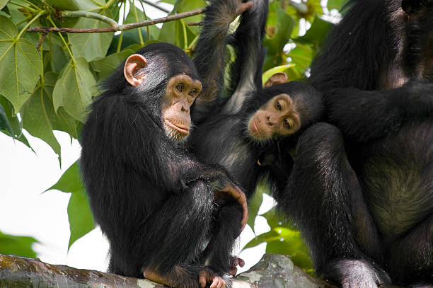 Wildlife shot - chimpanzee family on a tree, Gombe/Tanzania stock photo