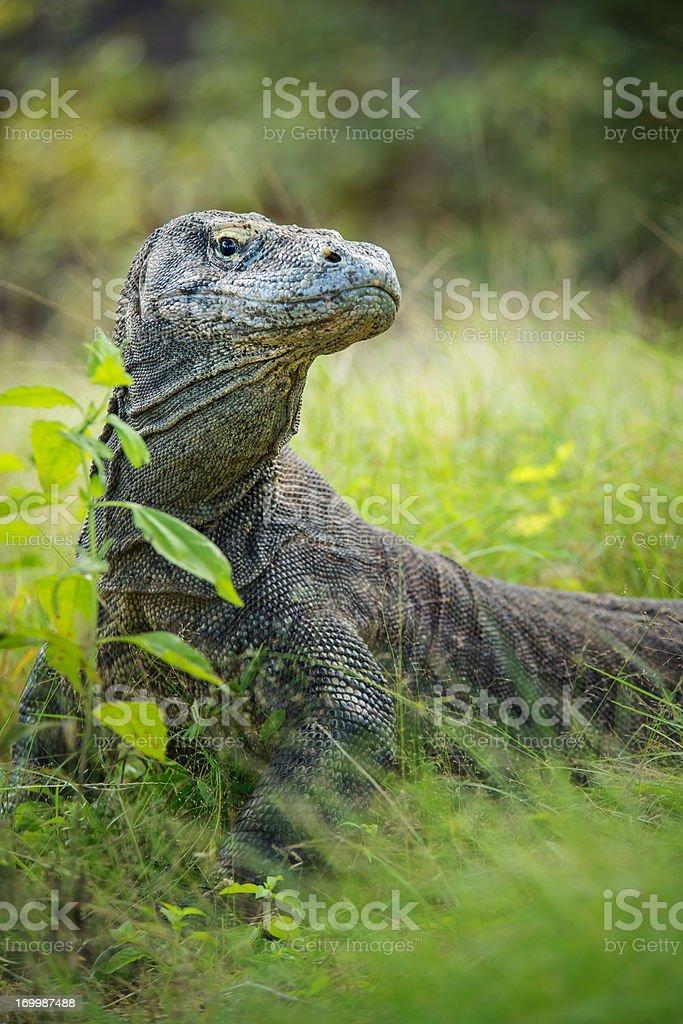 Wildlife shot of a Komodo Dragon (Varanus komodoensis) stock photo