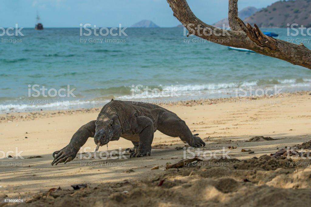 Aufnahme eines Komodo Dragon (Varanus komodoensis) – Foto
