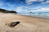 A seal resting on the sandy beach. Enjoy a close encounter with New Zealand fur seals in their natural habitat on the wild west coast of the South Island.