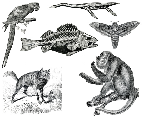 A multiple set of animal engraves isolated on white, from the books Elementos de Zoologia (Laureano Perez Arcas, 1874) and Histoire Naturelle (Mme Achille Comte, 1837) original editions from my own archives.