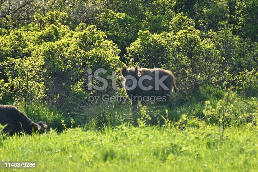 wildlife wild boar near the forest grazing grass