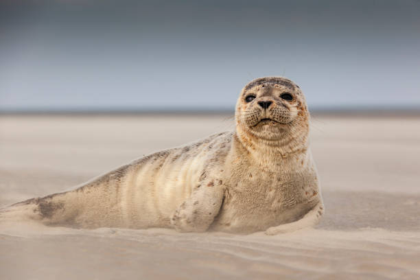 Wildlife with Seal on German island  of Langeoog stock photo