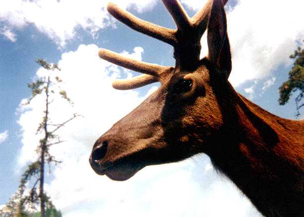 Wildlife-Elk stock photo