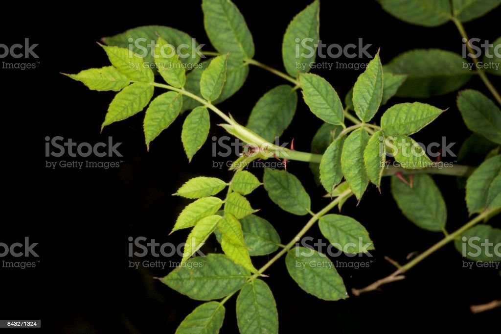 Wildrose leaves isolated stock photo