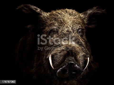 istock Wildschwein 176787062