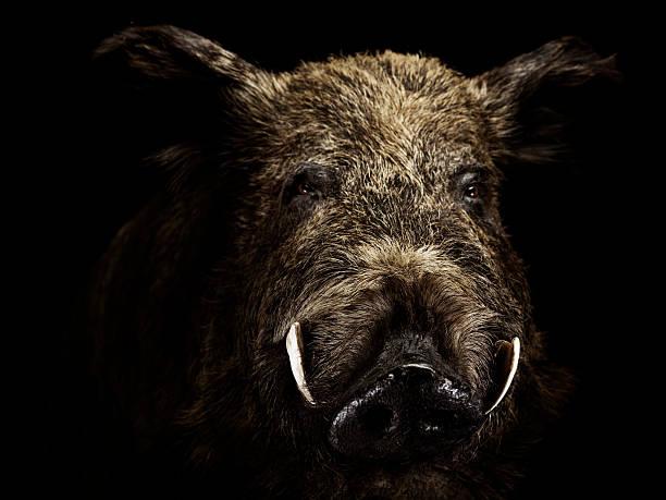 Wildschwein Keiler wild boar stock pictures, royalty-free photos & images