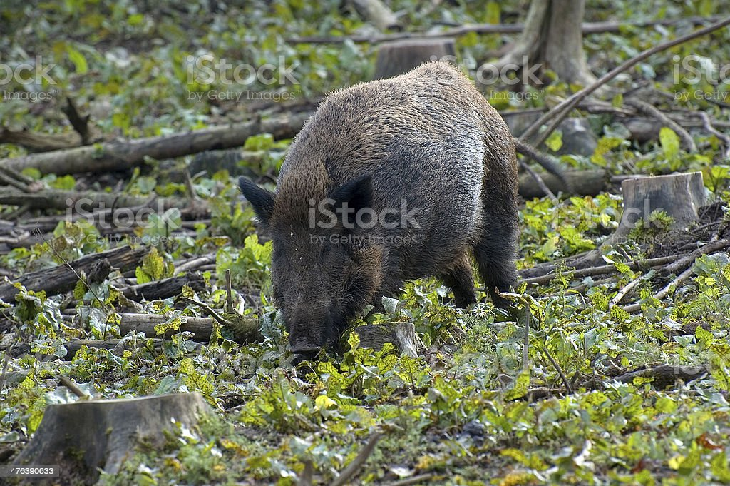 Wildschwein stock photo