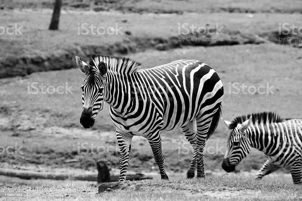 Wilking Zebras foto de stock libre de derechos