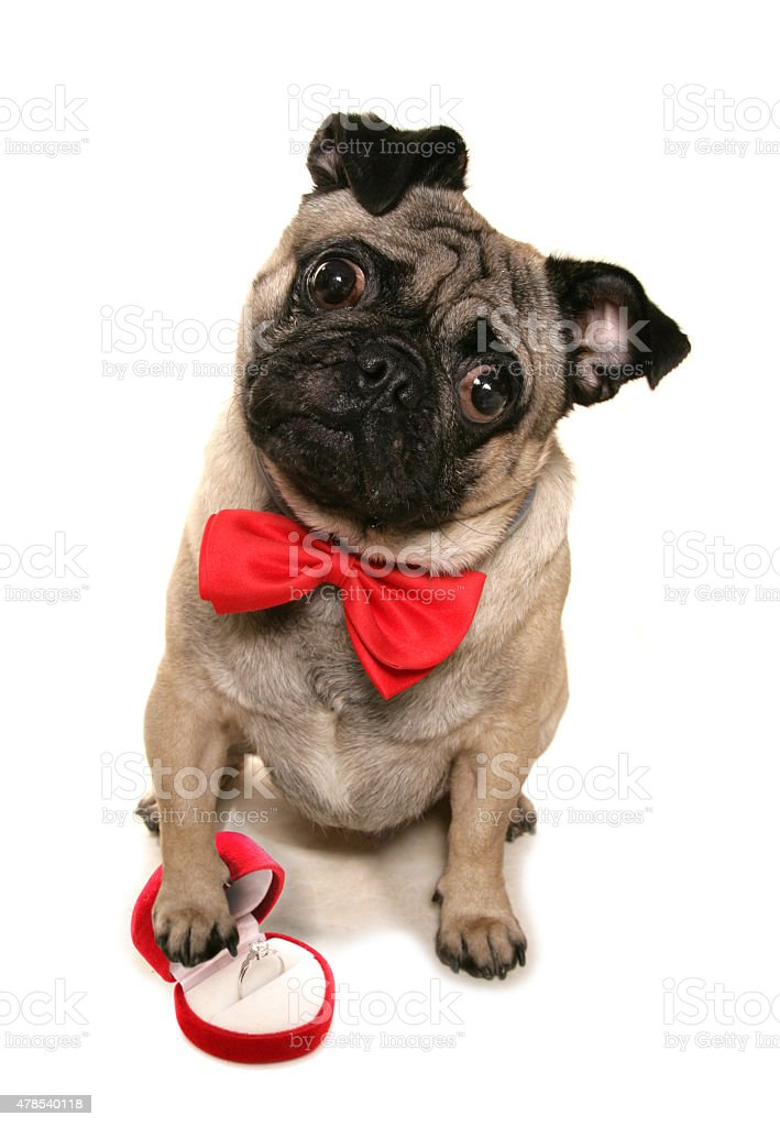 Will you marry me pug stock photo