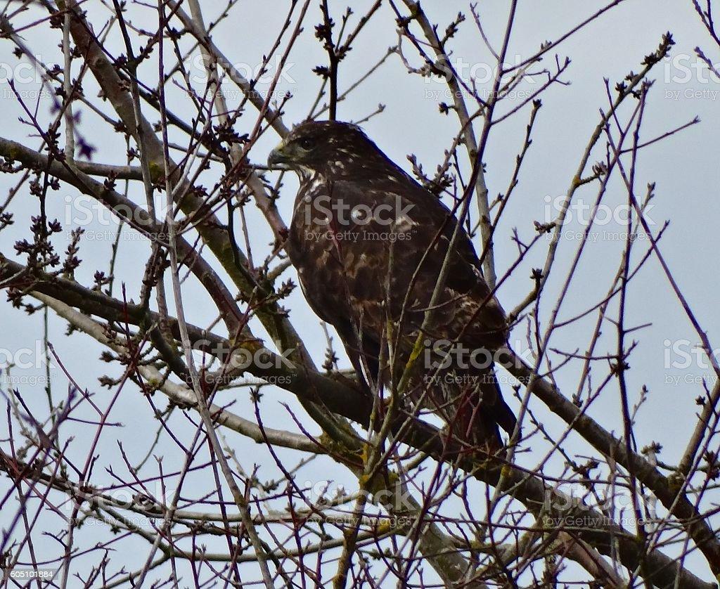 Willamette Valley Ferruginous Hawk stock photo