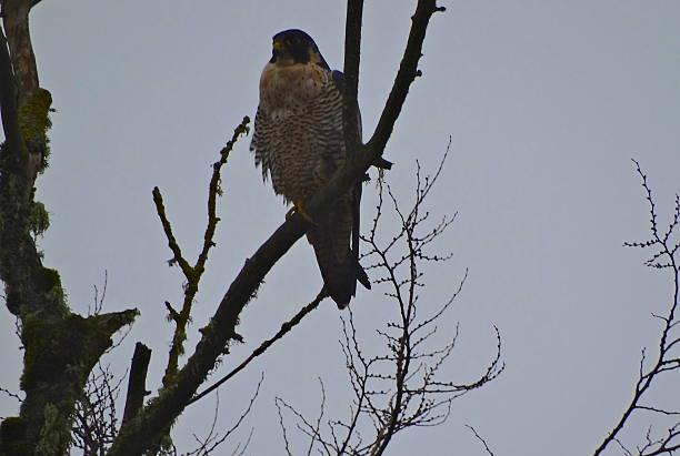 Willamette Valley Peregrine Falcon stock photo