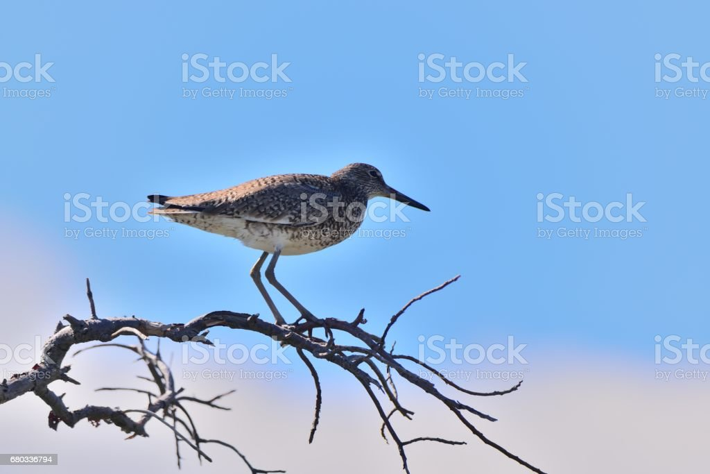 Willet on a Limb stock photo