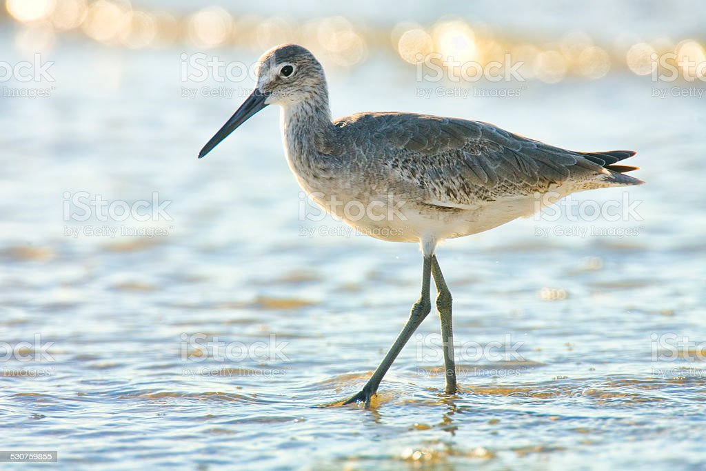 Willet on Fort Myers Beach stock photo