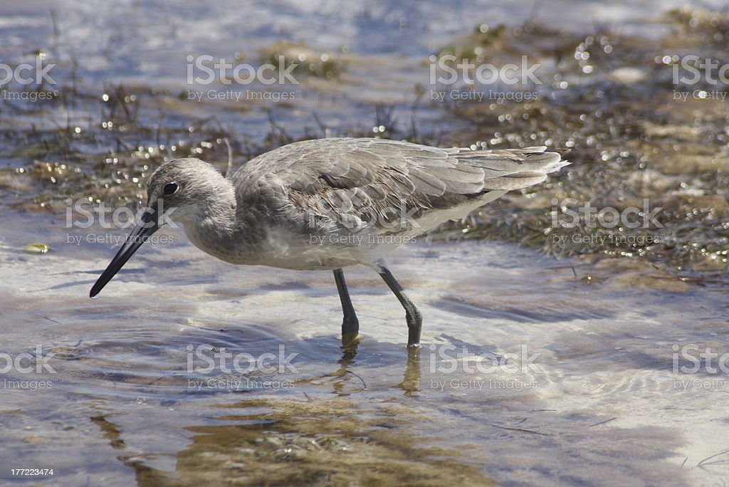 Willet royalty-free stock photo
