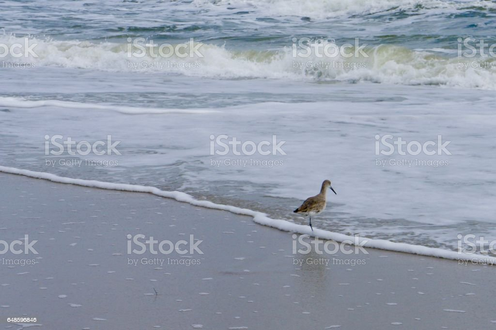 Willet Seabird in the Surf stock photo