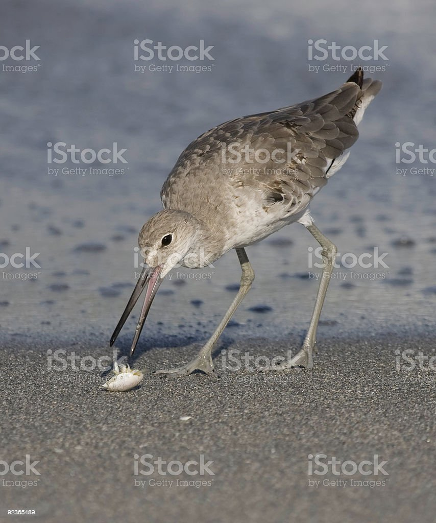 Willet with it's prey royalty-free stock photo