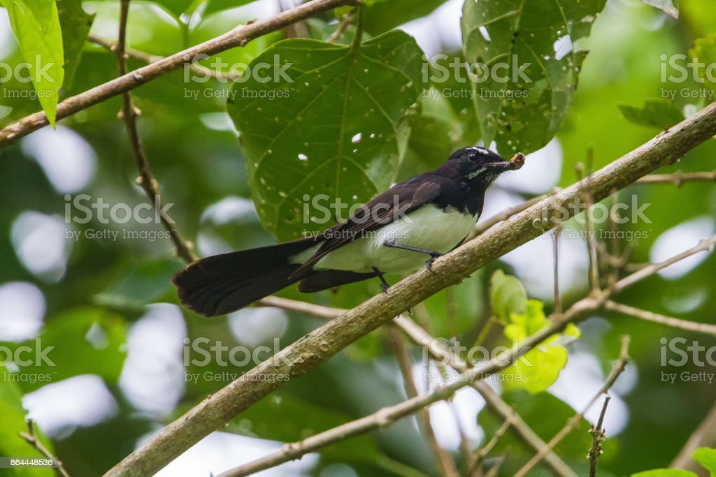 Willie wagtail bird stock photo