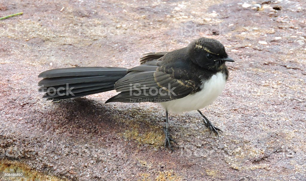 Willie Wagtail standing on a rock stock photo