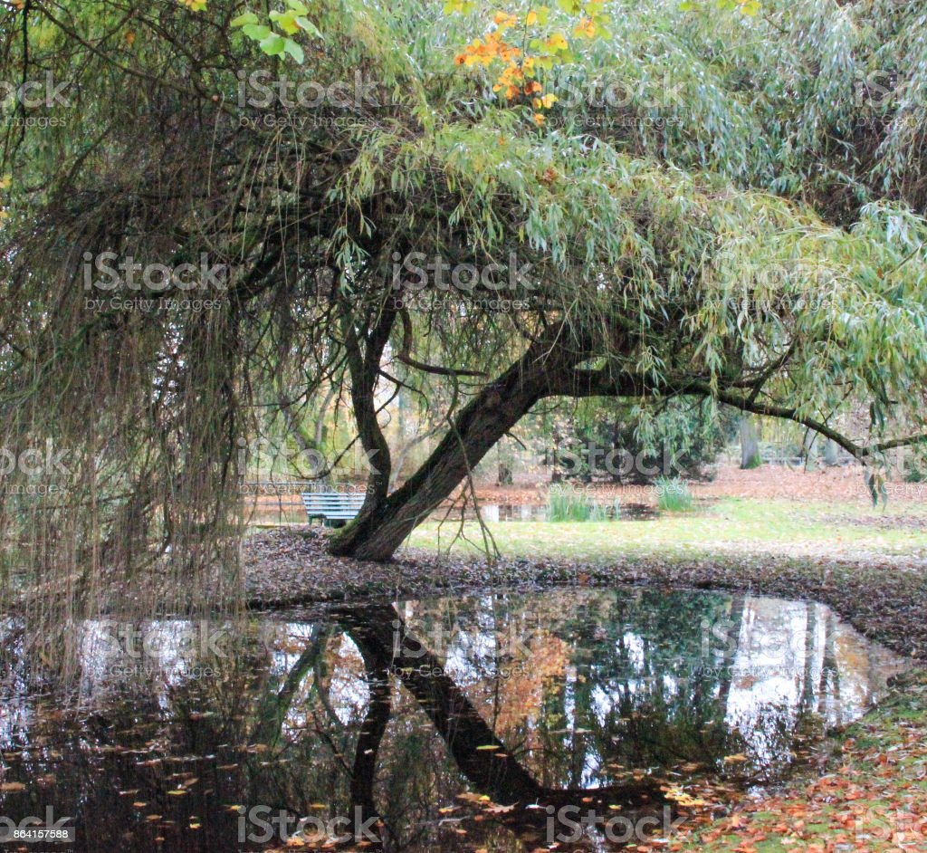Willow at the water in autumn royalty-free stock photo