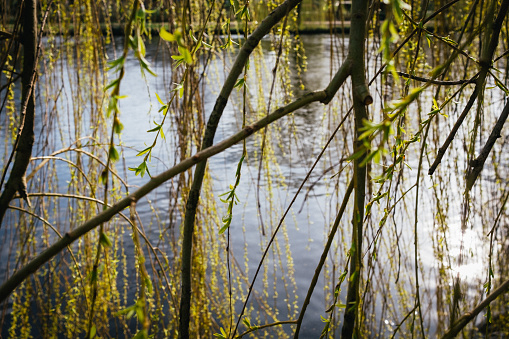 Willow branches in front of water