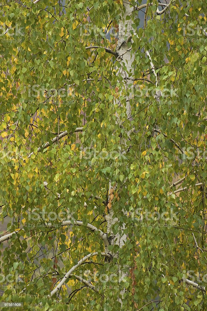 Willow branches royalty-free stock photo
