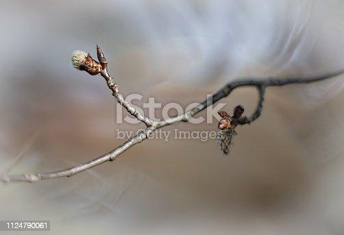 willow in spring, delicate buds before blooming, shot in the style of haiku, Wabi sabi