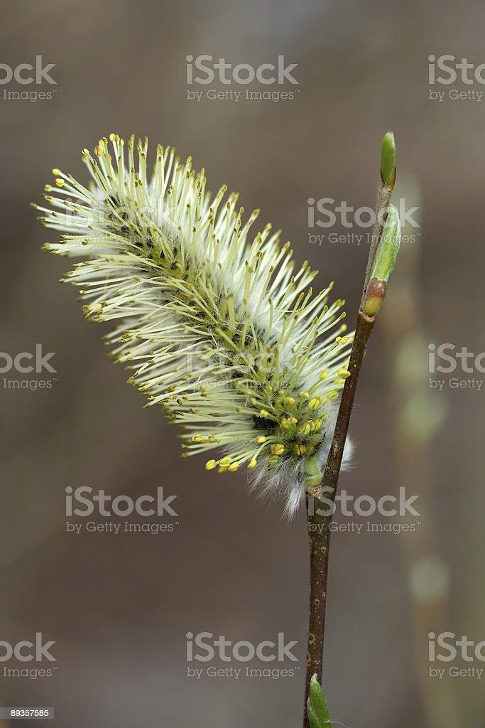 Willow bud. royaltyfri bildbanksbilder