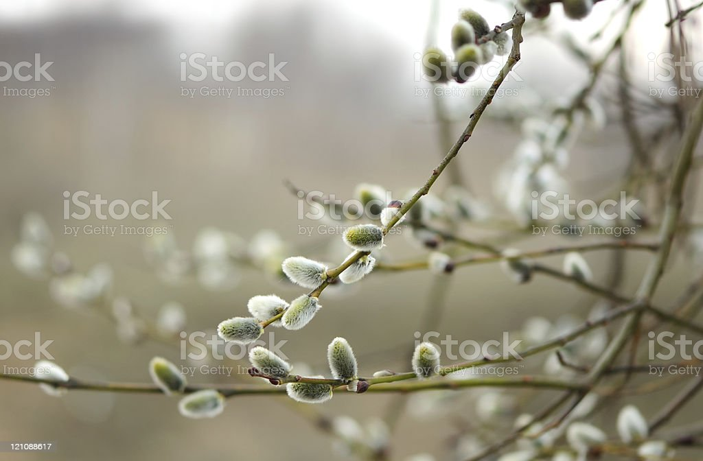 Willow Catkins in Early Spring stock photo