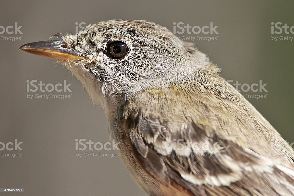 Willow Flycatcher royalty-free stock photo